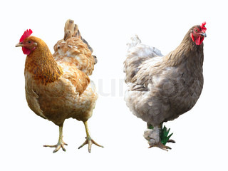Image of 'hen, rooster, cock'