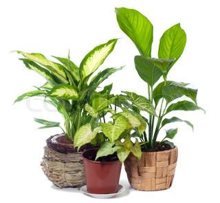 Gruppen af vindue plante