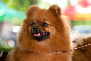 German Spitz is used to refer to both a breed of dog and category or type of dog