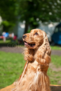 The American Cocker Spaniel is a breed of sporting dog