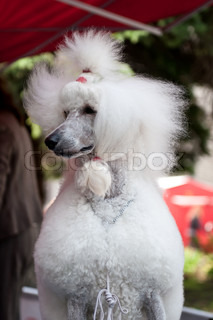 Poodle is a breed of dog Poodles are retrievers or gun dogs