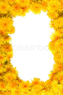 frame of fresh yellow flowers dandelions with clipping path