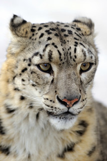 Snow leopard, low DOF portrait