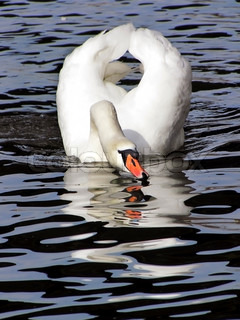 white swan on a black - blue water