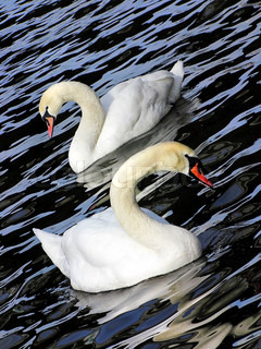 Two white swans on black - blue water