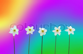 Daffodils over rainbow-coloured background