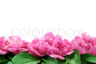 Peony over white background - frame