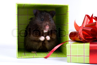 Black Syrian Hamster as a gift in box on white background