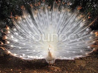 beautiful peacock albino