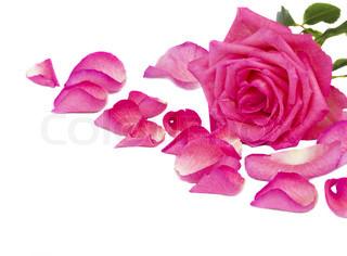 kant af pink rose med kronblade isoleret på hvid baggrund