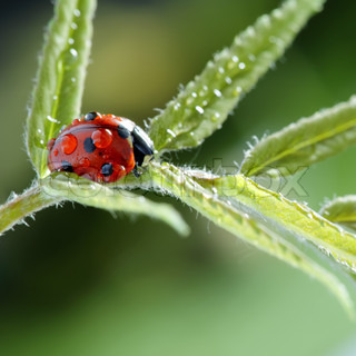 ladybug with water drop on green leaf