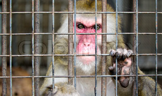 monkey in a cage with sad eyes