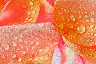 multi-colored rose petals with water drops