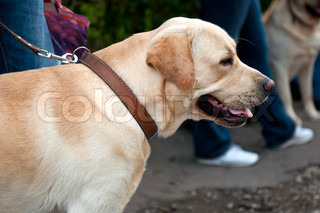 The Labrador Retriever is one of several kinds of retriever, a type of gun dog
