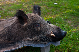 Stuffed wild pig head Skin killed a wild boar