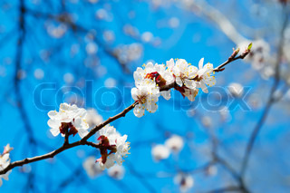 Branch of the apricot tree with white flowers