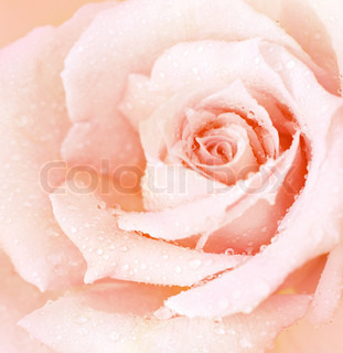 Abstract pink wet rose background, beautiful macro flower with morning dew, nature details