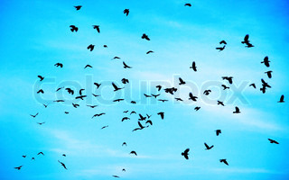 Flock of crows high up in blue sky