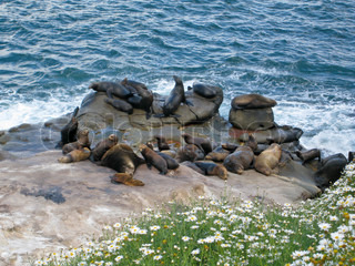 Sea Lions sunbathing on the Pacific Ocean Coast - La Jolla, San Diego, California