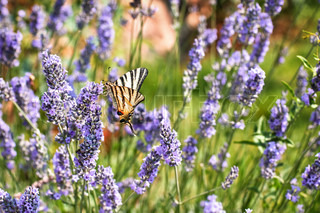 Beauty sommerfugl på lavendel blomst