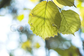 Two autumn leaves with bokeh background
