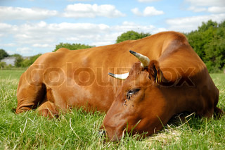 Brown cow is resting on a green grass