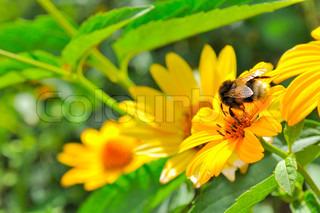 Bee Pollinating Jerusalem Artichoke Earth Apple Flower