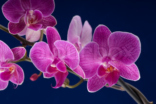 branch of orchid flower phalaenopsis on blue background