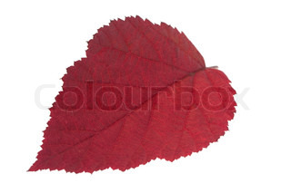 Red leaf raspberry isolated on a white