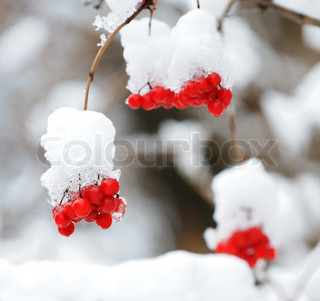 Mountain ash covered with snow Red berries on a branch in snow