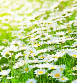 Spring meadow af hvide friske daisy blomster med klare sol lys , naturlige landskab