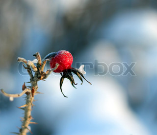 frozen red rose hip