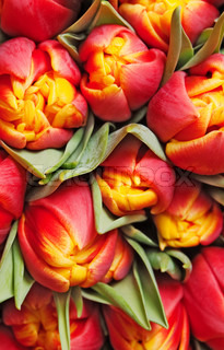 beautiful red tulips, background, texture