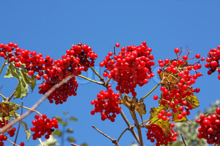 Harvest of snowball tree also known as Viburnum opulus or Arrow-wood