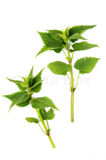 An image of lamium deadnettle on white background