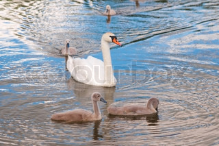 Swan with baby birds on lake