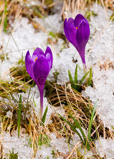Two crocuses on the snow in spring