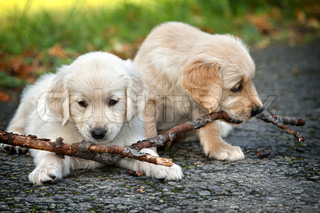 Two puppies golden retriever to biting branches