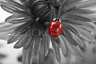 closeup of tiny ladybird on the flower