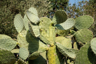 Bush of tzabar cactus, or prickly pear Opuntia ficus Indica in the forest