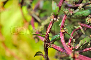 Red Beetroot Stalks with Leaves and Seeds on Vegetable Patch