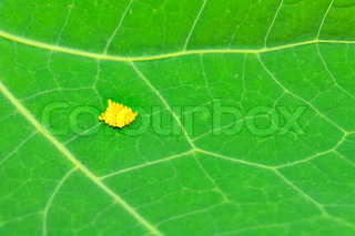 Yellow Insect Eggs on Green Leaf
