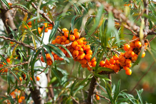 Orange berries hang on a tree