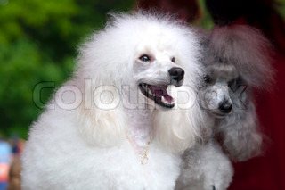 The Poodle is a breed of dog, and is regarded as one of the most intelligent breeds of dog