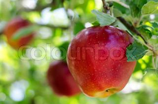 Image of 'apple, garden, tree'