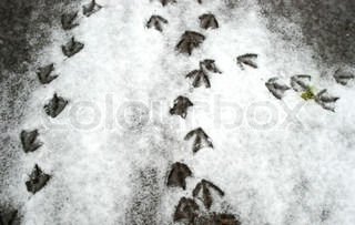 Duck Footprints in Snow, Duck Rush Hour