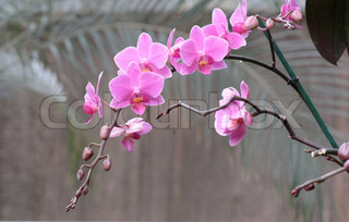 Delicate pink orchid flowers o on a curved branch