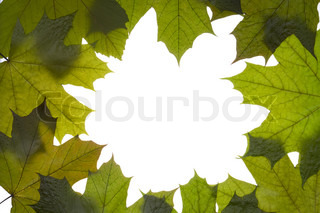 dry green maple tree leaves frame on white