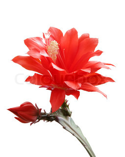 isolated blooming Orchid cactus