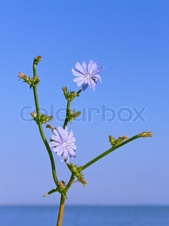 Chicory plant with flowers against water and cloudless blue sky